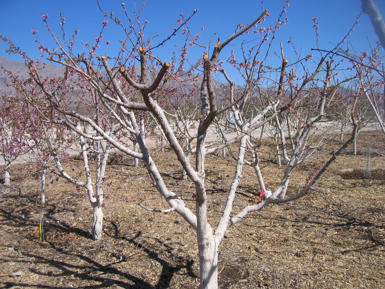 Xtremehorticulture Of The Desert Lower Limbs Of Fruit