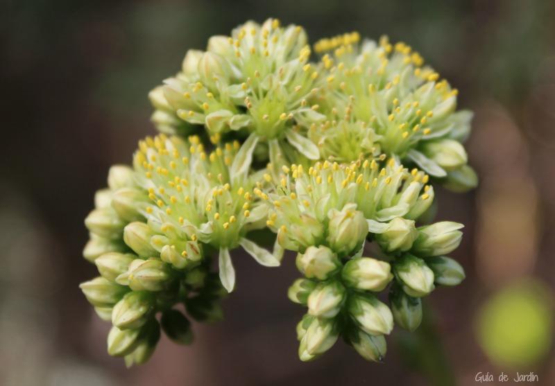Flores de sedum sediforme