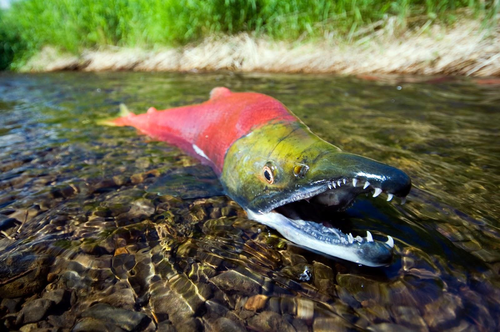 Sockeye salmon   The Life of Animals
