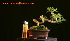 Bonsai kemuning Murraya Paniculata