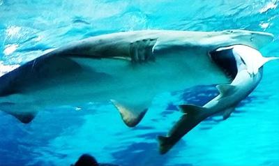 Female Shark Eats Male Shark