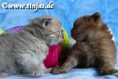 Scottish Fold Longhair Katzenbabys