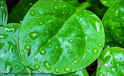 Sejuta Manfaat Yang Dapat Ditemukan Pada Tumbuhan Binahong ! Coba Baca Artikelnya