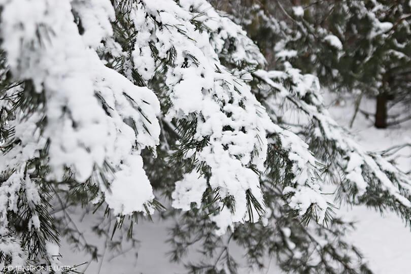 śnieg na gałęziach drzew
