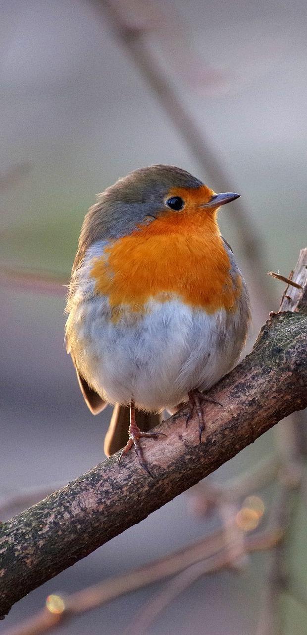 A cute robin.