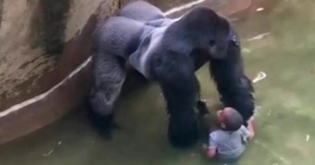 Los padres del menor sí tendrían cargos en caso del gorila