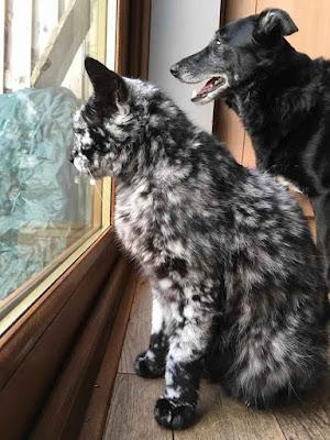 Gato con Vitiligo llamado Scrappy