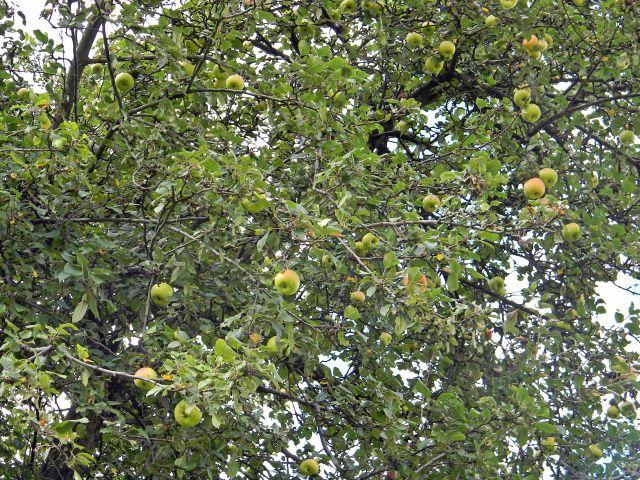 dzikie owoce, jabłoń, jabłka, owoce leśne