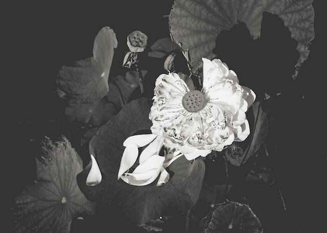 Lotus - Galia Alena Photography