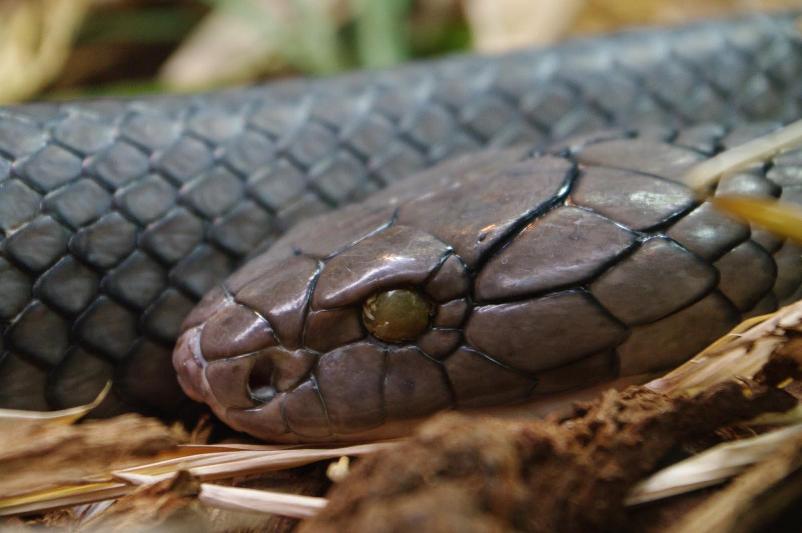 King Cobra Snake Photos: The King Cobra Snake Interesting Information & Pictures