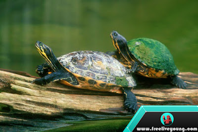 How to Take Care of a FreshWater Turtles