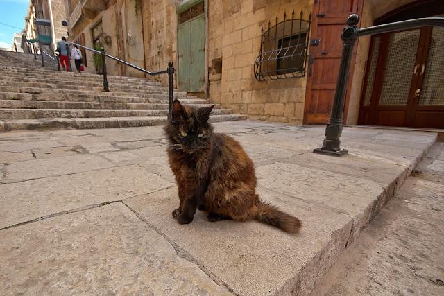 koty na Malcie, ile ich jest, jak żyją?
