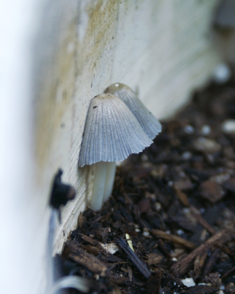 Kellogg Patio Plus Potting Soil Review: Am I Bugging You Yet?: Fungus #1