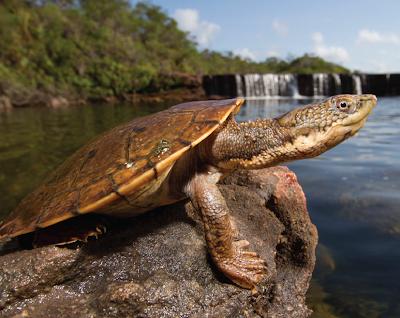 Makanan Fitzroy River Turtle