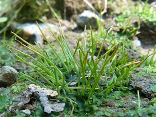 Anthocérote commune - Phéocéros de Caroline - Phaeoceros laevis subsp. carolinianus