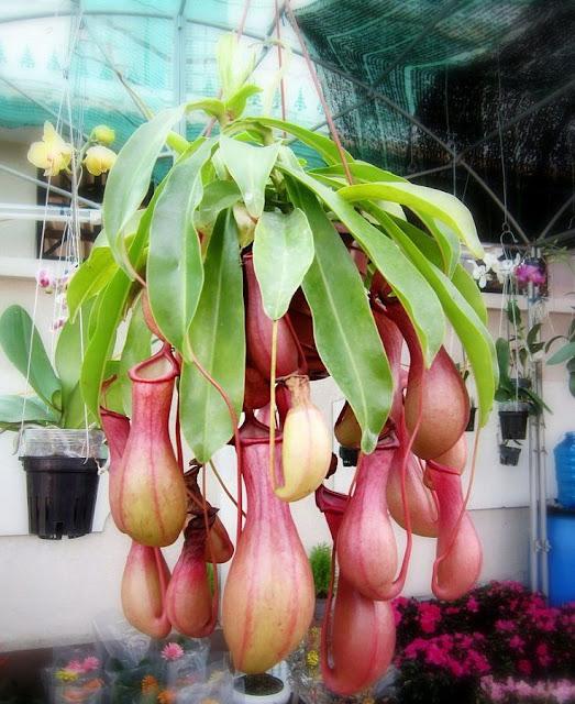 CÂY NẮP ẤM - Nepenthes mirabilis - Nguyên liệu làm thuốc Chữa Ho Hen