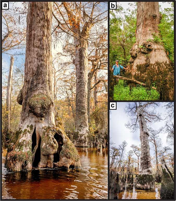 Dlium.com Dlium The oldest living bald cypress trees (Taxodium distichum) found at least 2,624 years old