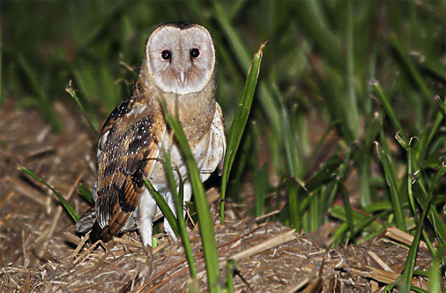 Serak Padang, Eastern Grass-owl, Tyto longimembris