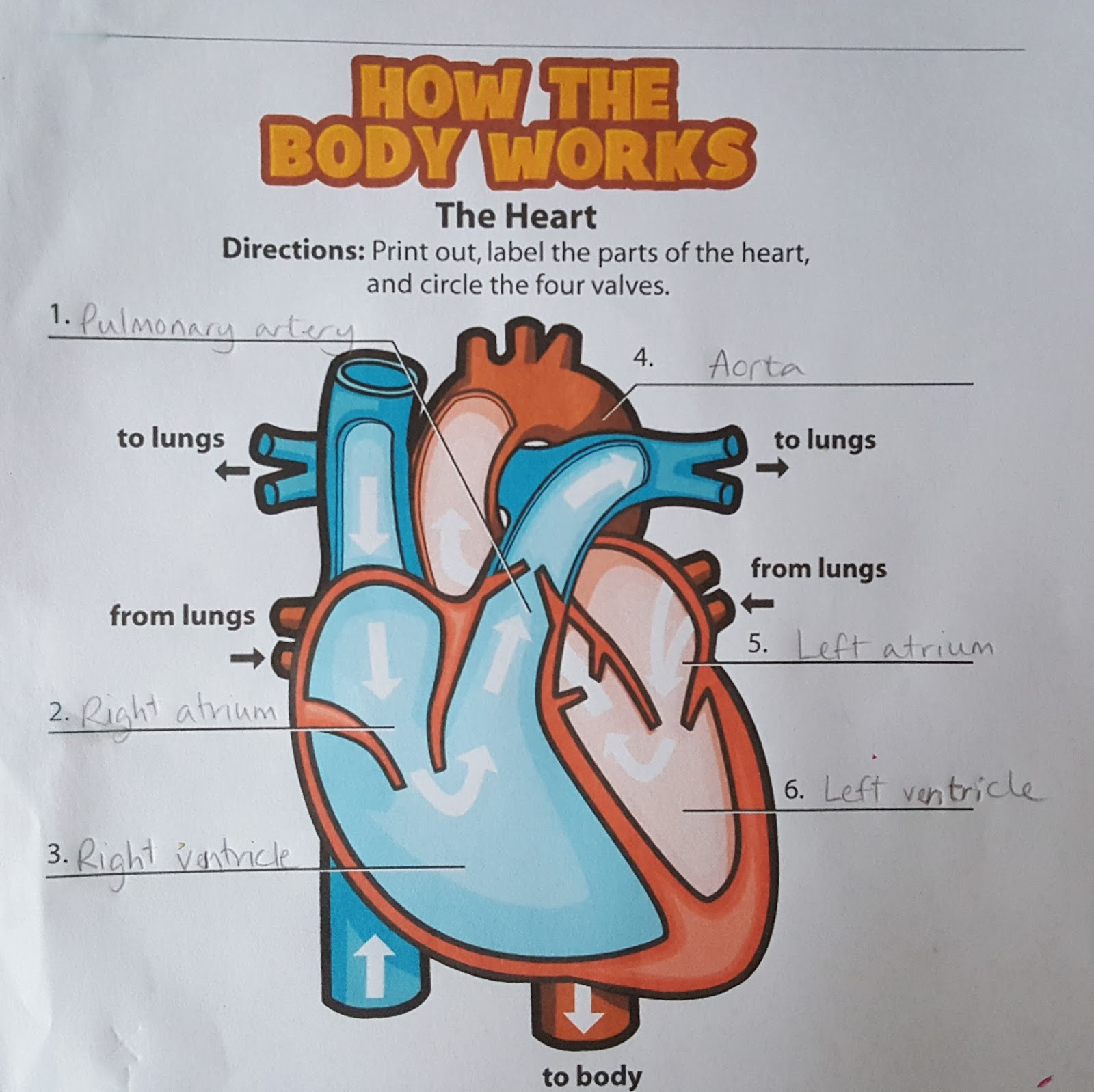 Learning About The Heart And Lungs