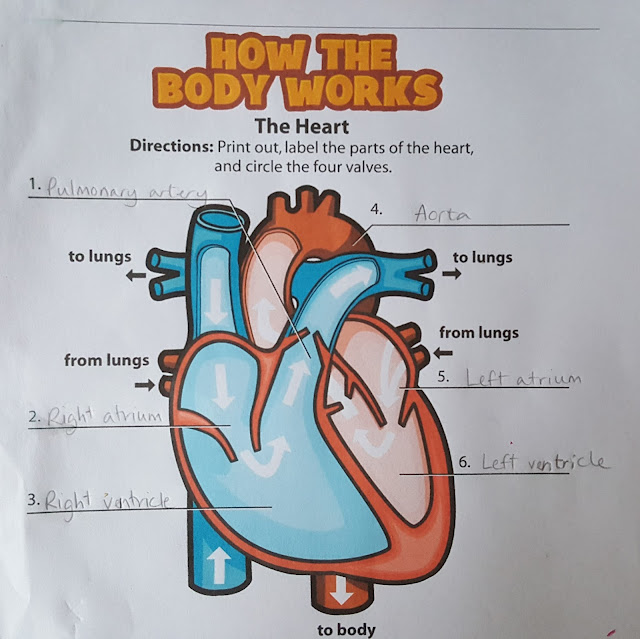 Learning About the Heart and Lungs | Multicultural Motherhood