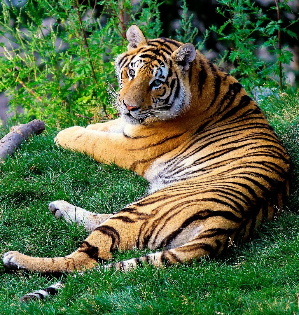 Picture of a the majestic bengal tiger.