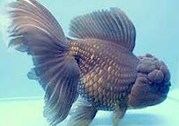 Jenis Ikan Koki Orando warna hitam