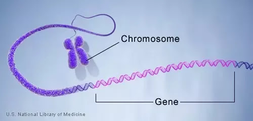 What is the difference between a chromosome and a gene