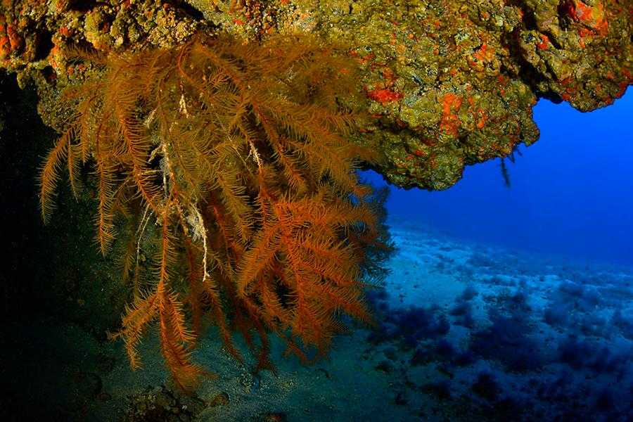 Coral negro - Antiphatella wollastoni
