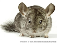 gambar chinchilla