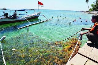 Bibit Rumput Laut