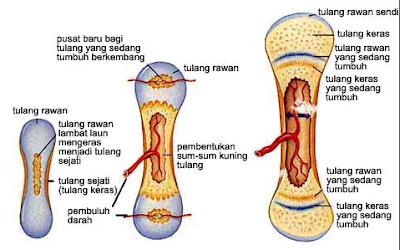Ringkasan Singkat Proses Pembentukan Tulang