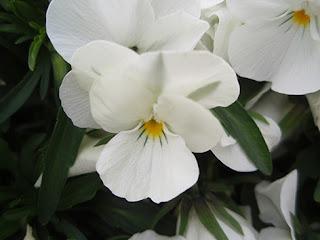 Pensamiento (Viola arvensis)