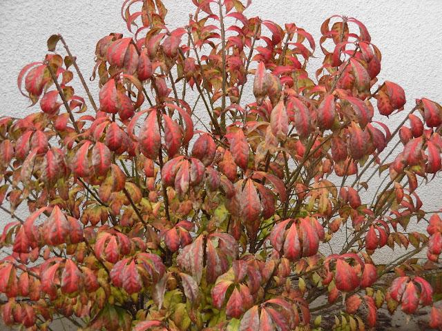 trzmielina jesienią