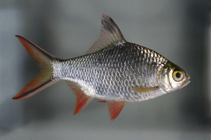 Gambar Ikan Tangadak