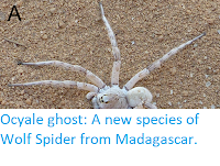 http://sciencythoughts.blogspot.co.uk/2017/11/ocyale-ghost-new-species-of-wolf-spider.html