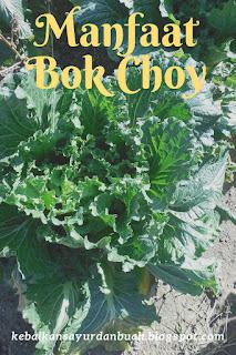Bok Choy yang belum dipanen