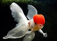 Jenis Ikan Koki Orando wen warna merah