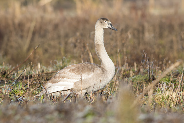 Young Mute Swan