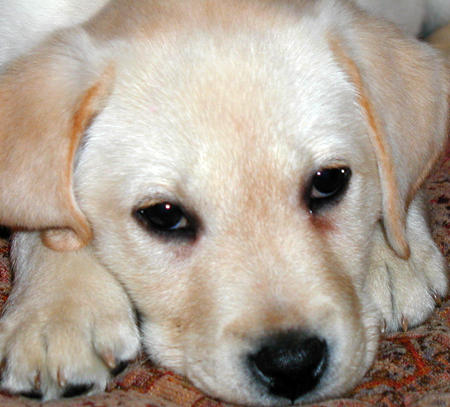Cute Dogs Yellow Labrador Retriever