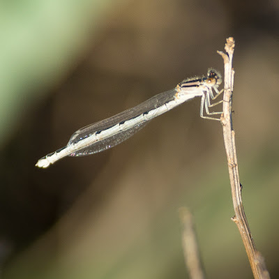 Damselfly, The Flower Mound