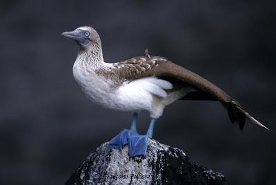 piquero de patas azules Sula neubouxii