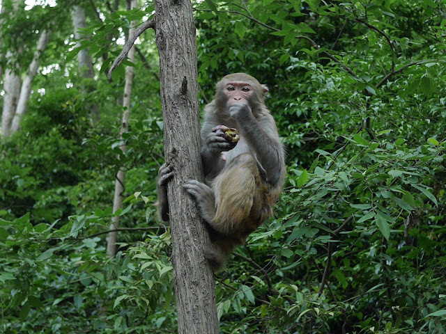 monkey eating a stolen mangosteen in Guiyang