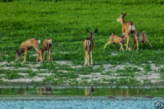 Cramer Imaging's wildlife photograph of suckling fawns and deer on a lake shore at Devil's Creek Reservoir, Oneida, Idaho
