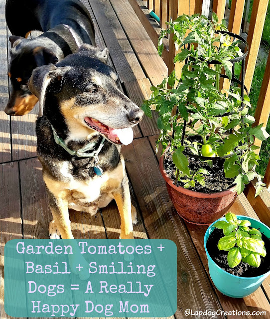 Teutul knows how to make his #dogmom happy: Garden Tomatoes + Basil + A Smiling Dog = Happy Mama #seniordog #rescuedog #adoptdontshop #containergarden #LapdogCreations ©LapdogCreations
