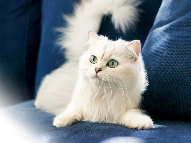 Temperament And Personality Of Turkish Angora Cat Annie Many