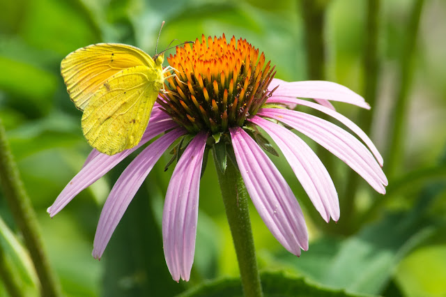 Cloudless Sulphur on Echinacea, Hagerman NWR