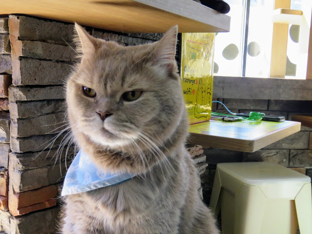 Cat with a blue bandana at a cat cafe in Seoul South Korea