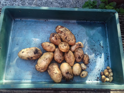 Growing and Harvesting Backyard Potatoes