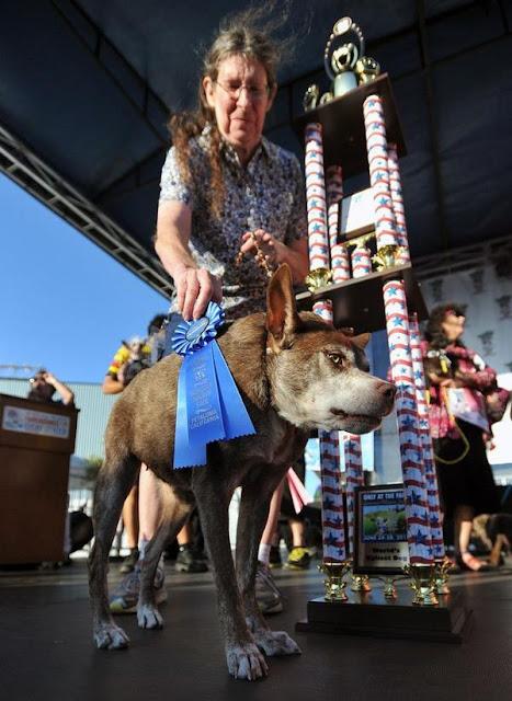 Chó gù xấu lạ đạt giải vô địch cuộc thi chó xấu nhất thế giới