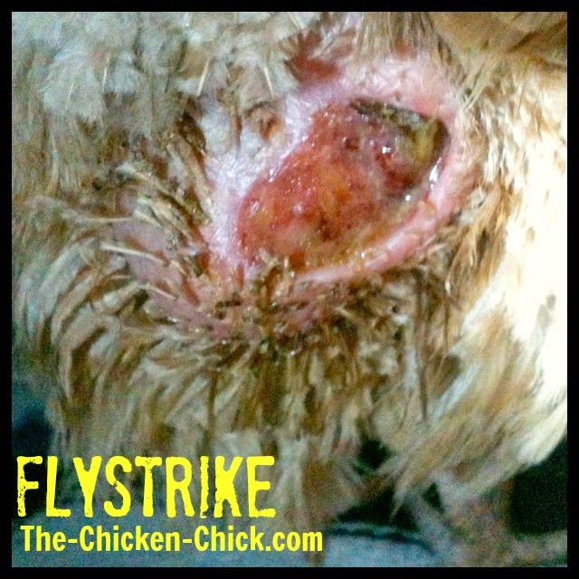 Obviously, having a veterinarian treat the infection is the preferred course of action, but absent that luxury, most uncomplicated cases of flystrike can be managed at home.